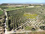 Balat Köyünde 44 Dönüm Zeytinlik Satılık